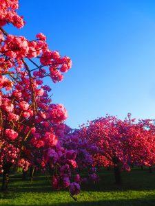Des cerisiers en fleur