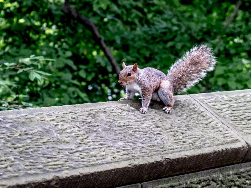 Ardilla en el Central Park.